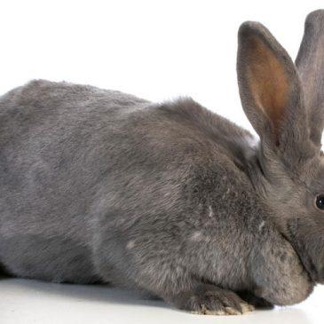 flemish giant rabbit and dog - photo #8