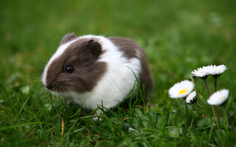 5 things Your Guinea Pig Wants You To Know