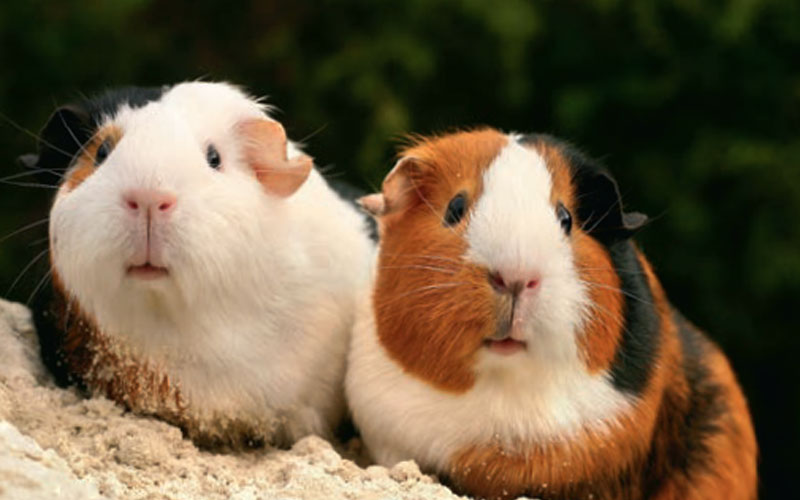 10 cool facts that make the guinea pig a great pet