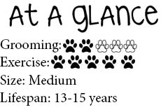 At a glance Border Collie