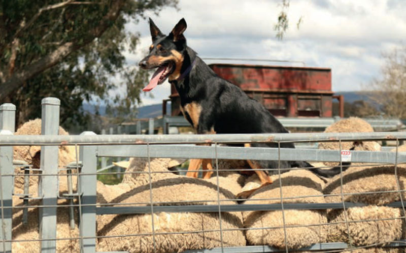 Dog Herding