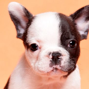 How well do you know the French Bulldog?