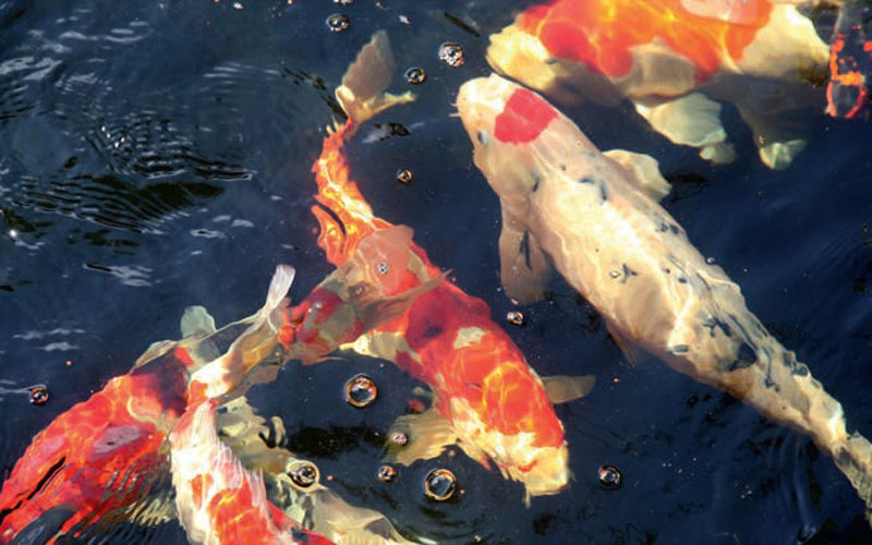 Keeping koi pets for Keeping koi carp