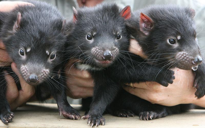 Devil Ark and the Tasmanian Devil