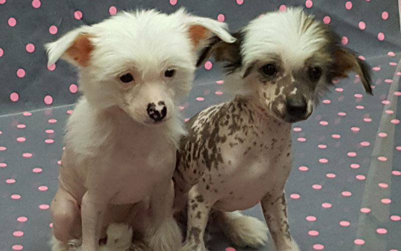 Behind the scenes at the Chinese Crested puppy photo shoot