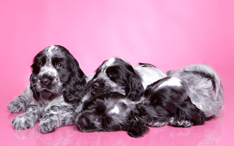 Behind the Scenes with Cocker Spaniels
