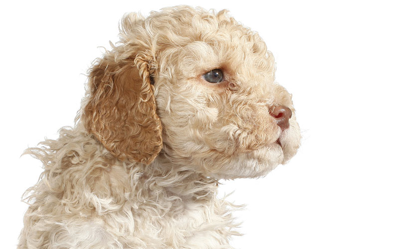 Behind the scenes on the Lagotto Romagnolo photo shoot