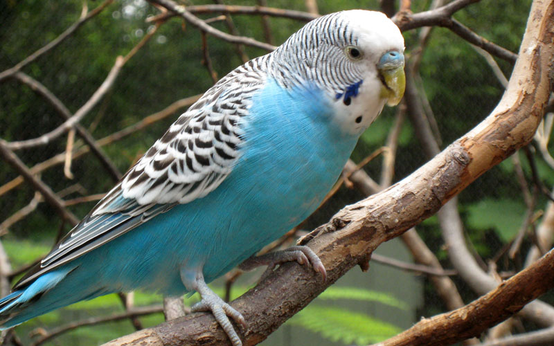 Australian birds who make great pets