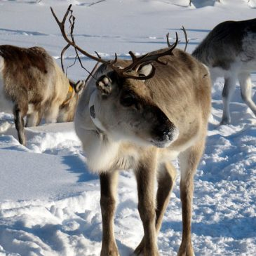 How much do you know about reindeer