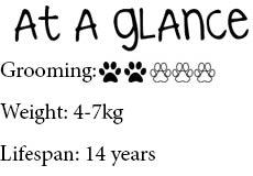 At-a-glance-Birman-cat