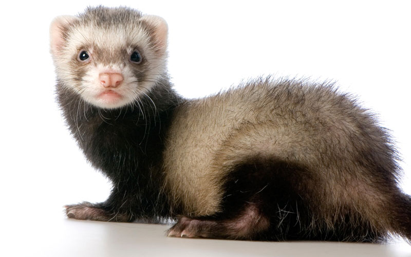 10 reasons why a ferret makes a great pet