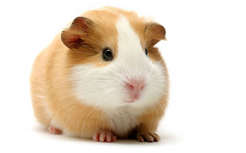 Top 10 tips for keeping you guinea pig happy