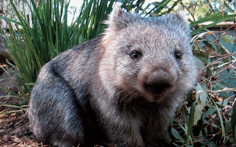 Wombat Protection Society of Australia