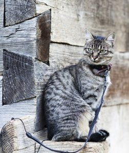 Cat-on-leash