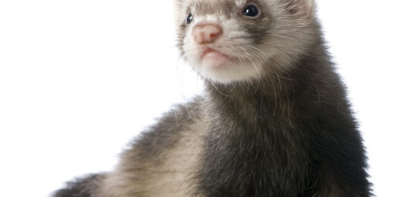 Ferrets: Is the ferret for you?